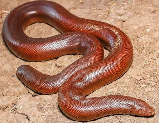 This Snake Is Sold For Crores Of Money To Increase Intimacy