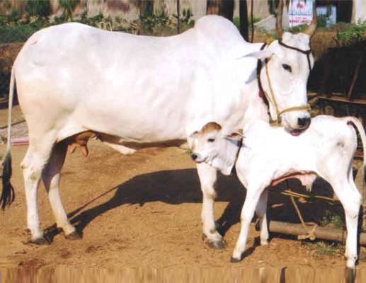 Some Good And Bad Astrology Related To Cow - Lifeberrys