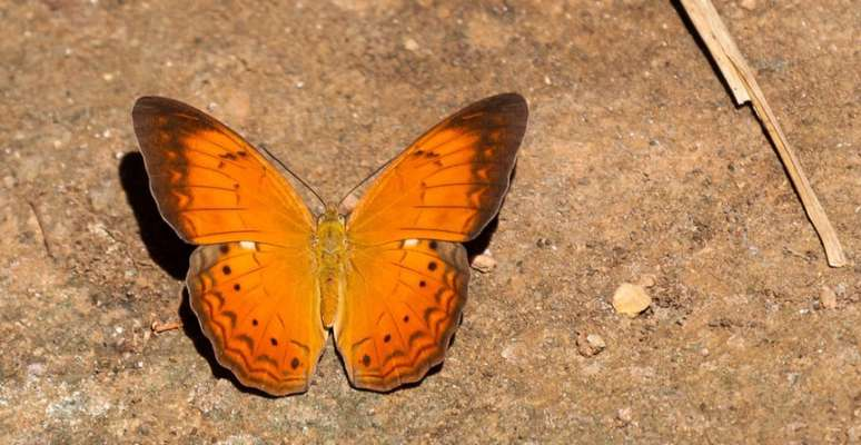 Tamil Nadu Becomes Fifth Indian State to Declare a State Butterfly