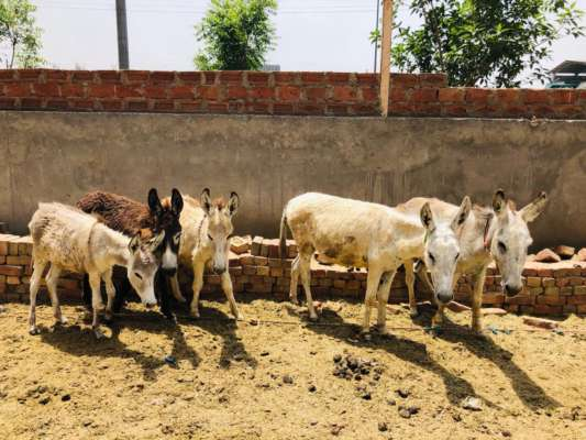 Rs 6,000 to Rs 25,000: How Donkey's Milk Is Quadrupling