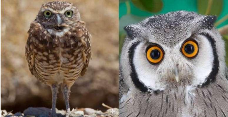 Despite habitat protection, Northern Spotted Owl population