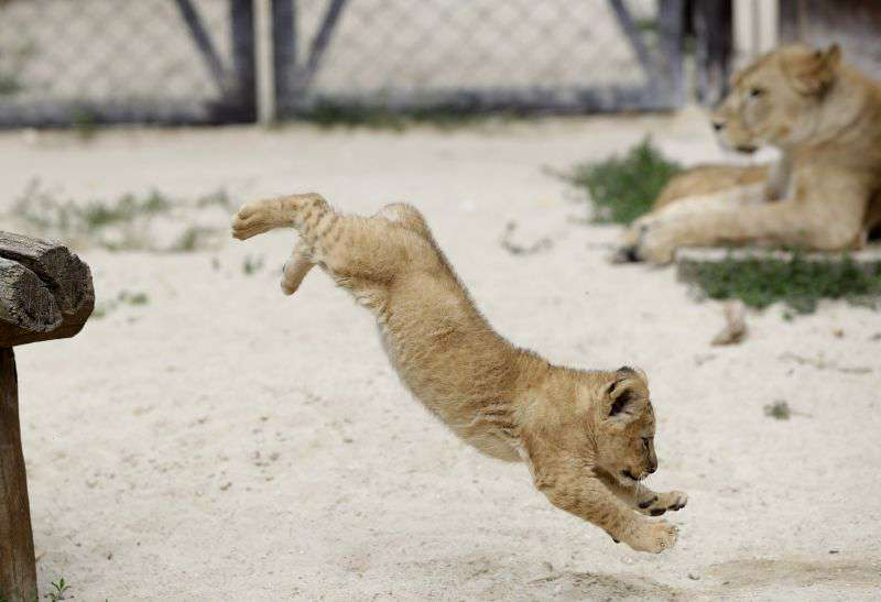 New-born lion cub photos that will melt your heart - Asian